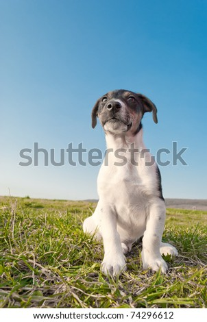 a Cute young pure bred jack russell terrier dog siting on grass - stock photo