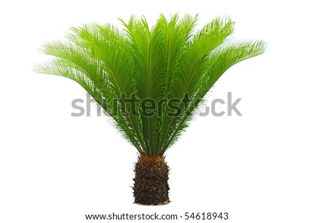 a cycas  with white background - stock photo