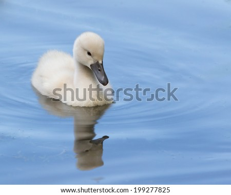 A cygnet is swimming in the water - stock photo