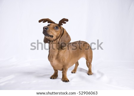 A Dachshund breed dog look like a deer - stock photo