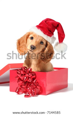 A dachshund puppy for Christmas! - stock photo
