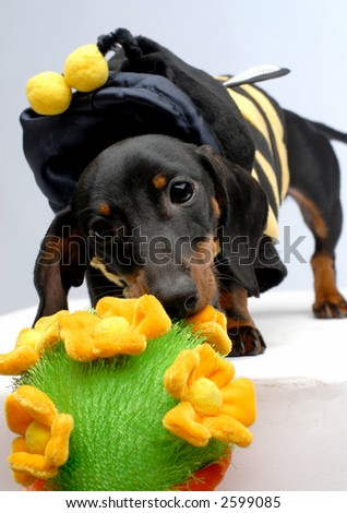 A dachshund puppy pulling flower pot front view - stock photo