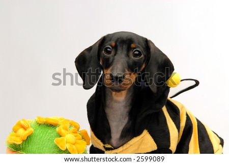 A dachshund puppy sitting next to flower pot looking guilty - stock photo