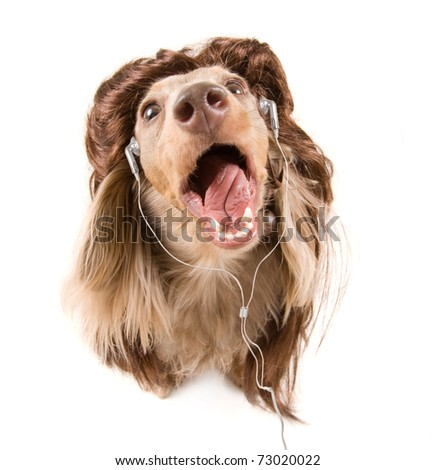 a dachshund singing on a isolated white background