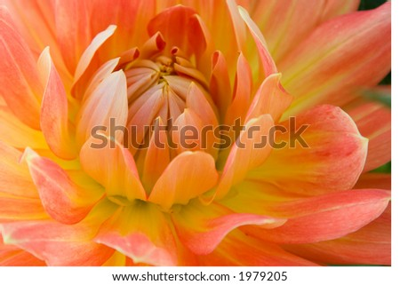 A dahlia flower blooms - stock photo