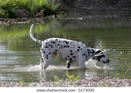 A Dalmatian dog plays in a pond to cool off during a daytime walk (shallow focus). - stock photo