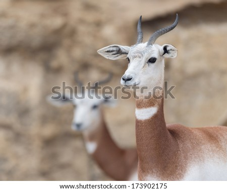 A dama gazelles (Gasella dama) with a second gazelle blurred in the distant background - stock photo
