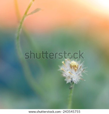 A Dandelion blowing seeds in the wind. - stock photo