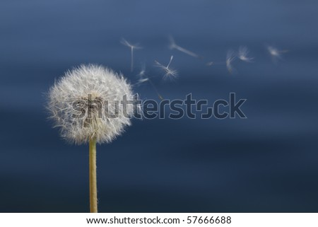 A dandelion dispersing seed in front of a dark blue background (it's a lake).