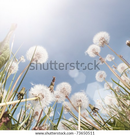 A Dandelion field in the summer. Low angle shot. - stock photo