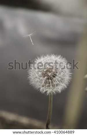 A Dandelion Seed Takes Flight - stock photo