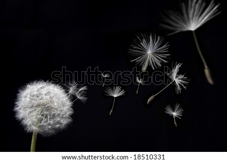 A dandelion with seed pods floating away in a breeze