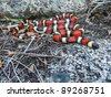 A dangerous looking snake - California (Sierra) Mountain Kingsnake, Lampropeltis zonata multicincta - stock photo