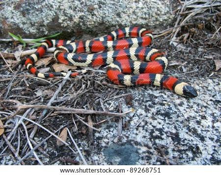 A dangerous looking snake - California (Sierra) Mountain Kingsnake, Lampropeltis zonata multicincta - stock photo