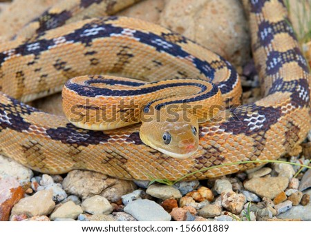 A dangerous looking snake coiled and ready to strike like a mamba or cobra - Trans-pecos Rat Snake, Bogertophis subocularis  - stock photo