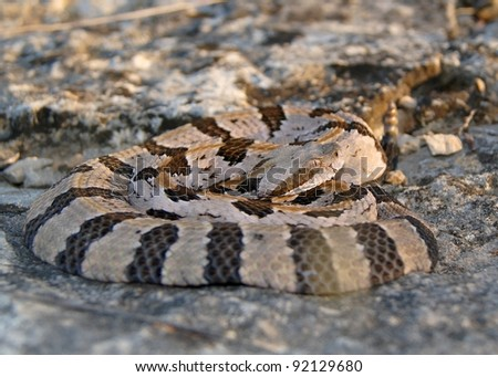 A dangerous snake coiled on a rock at sunset waiting for prey - Timber Rattlesnake, Crotalus horridus - stock photo