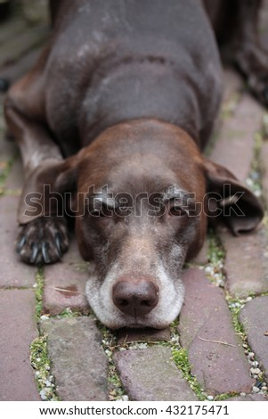 A dark brown senior pointer, lying on the pavement