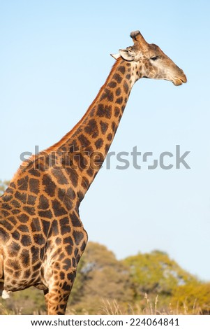 A dark colored male giraffe in bushveld - stock photo