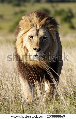 A dark maned sub adult male lions approaches,walking straight towards the camera,in this beautiful low angle profile portrait taken in Addo Elephant national park,eastern cape,south africa - stock photo