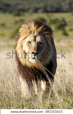 A dark maned sub adult male lions approaches,walking straight towards the camera,in this beautiful low angle profile portrait taken in Addo Elephant national park,eastern cape,south africa
