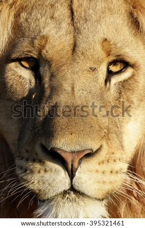 A dark maned sub adult male lions approaches,walking straight towards the camera,in this beautiful low angle profile portrait taken in the eastern cape,south africa - stock photo
