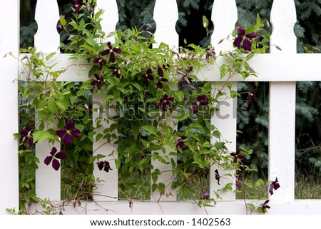 A dark purple weaving and winding Clematis vine through a white picket fence brings back memories of older and simpler country style living. - stock photo
