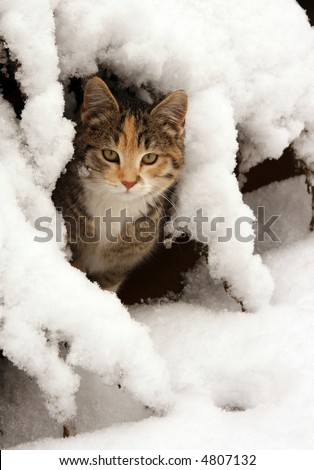 a darling cat looking at the viewer while it hides in snow covered bushes