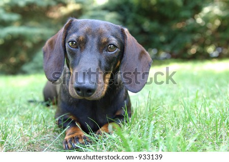 a daschund dog lying in the grass. - stock photo