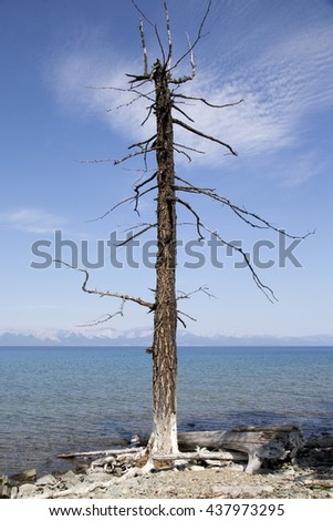 A dead and alone tree near the Hovsgol Lake in Mongolia. - stock photo