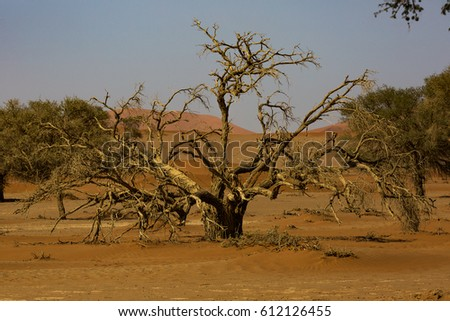 A dead Camel Thorn Tree in the Sossusvlei in Namibia, Africa