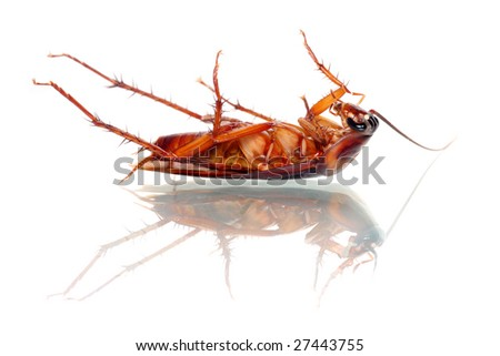A dead cockroach isolated on white background. - stock photo