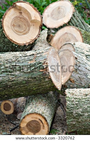 A dead elm tree is cut down for firewood. - stock photo