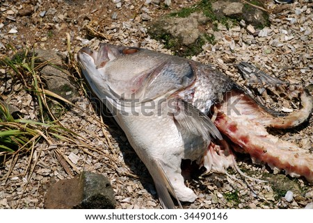 A dead fish head and skeleton. - stock photo