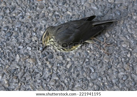 A dead Northern Waterthrush (Parkesia noveboracensis) that died as a result of flying into a window.  - stock photo