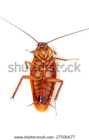A death cockroach isolated on white background. - stock photo
