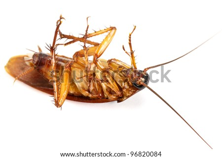 a death cockroach on white background - stock photo