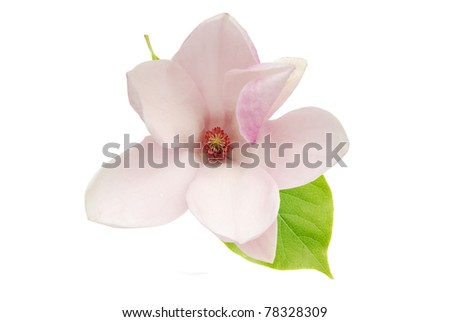 A decorative magnolia bloom on white - stock photo