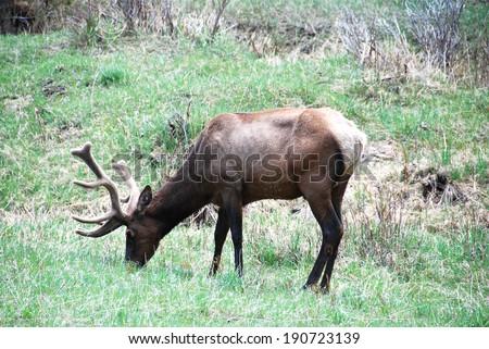 A deer eating in Rocky Mountain National Park, Colorado, USA - stock photo