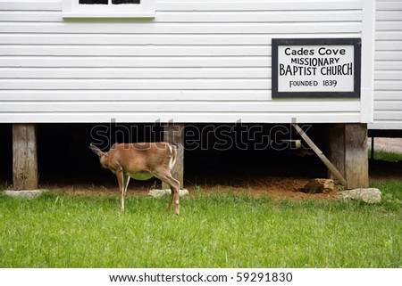 A deer glances under a church in Cades Cove, Great Smokey Mountains National Park - stock photo
