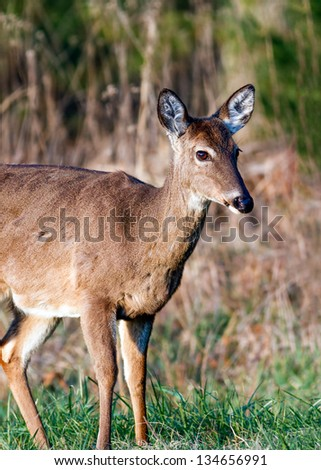A deer grazes in the early morning sun at Cades Cove, Great Smoky Mountains National Park,Tennessee - stock photo