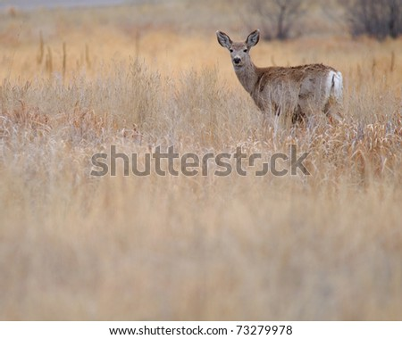 A deer in a field in Colorado, early spring - stock photo