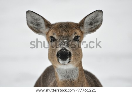 A deer in the snow at a nature preserve in New York. - stock photo
