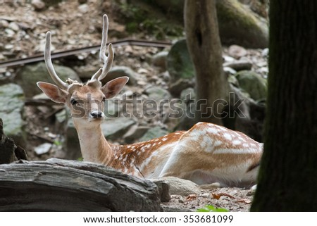 a deer resting in a forest - stock photo