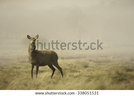 A deer stands in long grass in the morning mist. England. - stock photo
