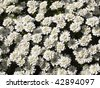 a dense mass of white perennial candytuft flowers iberis perenne - stock photo