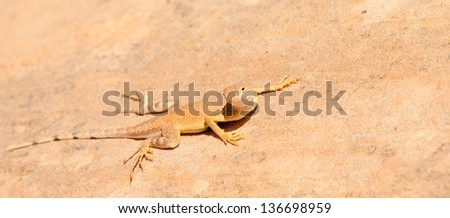 A Desert Iguana in the Valley of Fire State Park near Las Vegas, Nevada. - stock photo