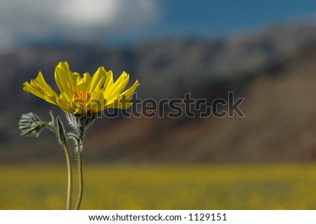 A desert sunflower with a background of yellow flowers and desert mountains. - stock photo