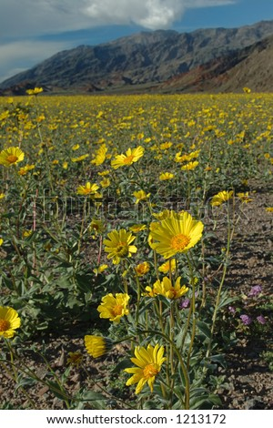 A desert sunflower with a background of yellow flowers and desert mountains. Death Valley, CA. - stock photo