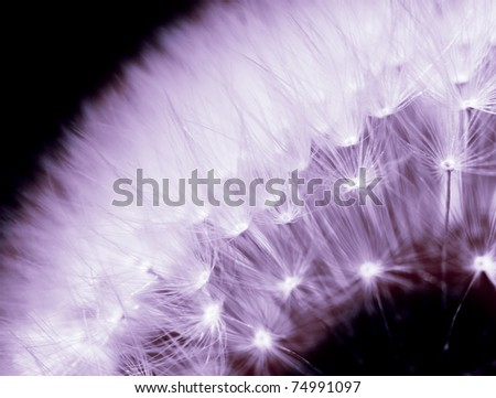 A detail of dandelion in purple light.