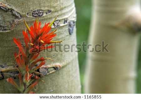 A detailed view of a wild Indian Paintbrush against an Aspen tree.